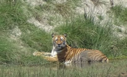 Tiger Bardia National Park