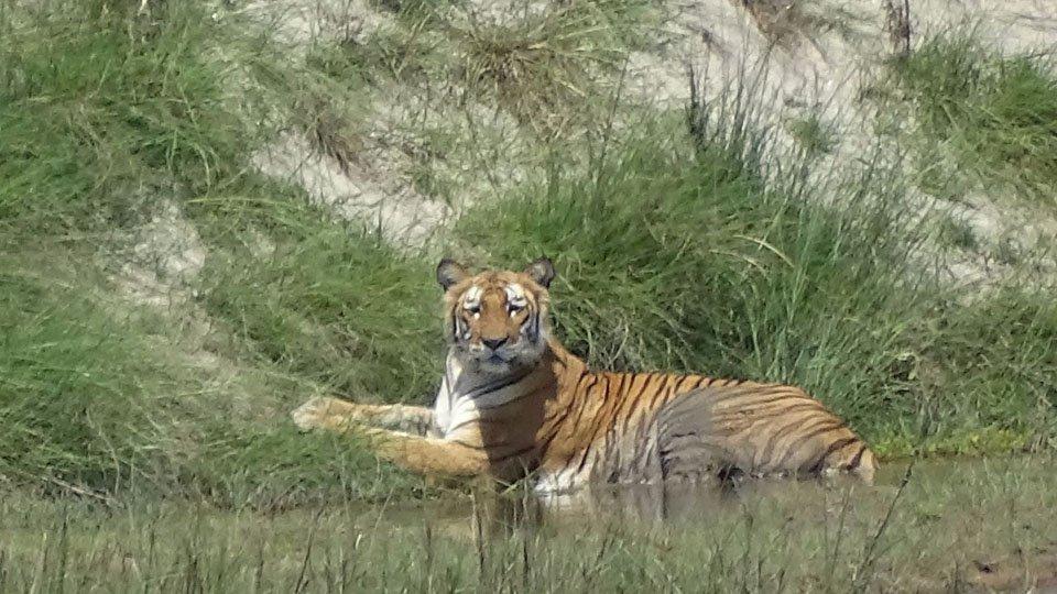 Tiger Bardia National Park
